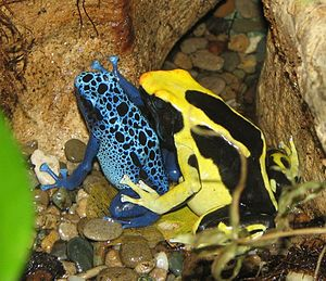 Poison dart frogs are well known for their bri...
