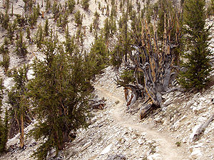 Pinus longaeva, Methuselah Walk - Methuselah G...