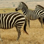 Zebras cannot be tamed because they live with lions