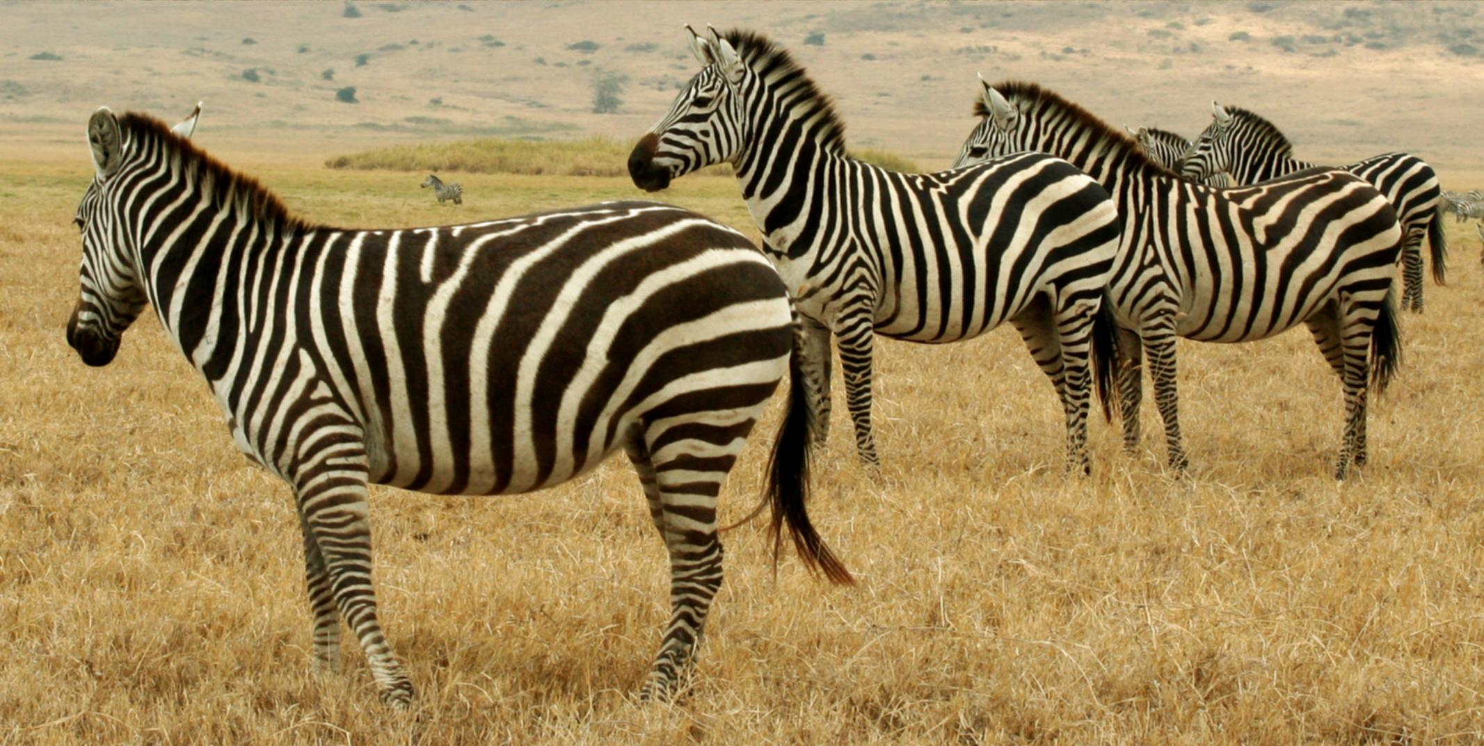 Zebras appear strikingly patterned to humans, ...